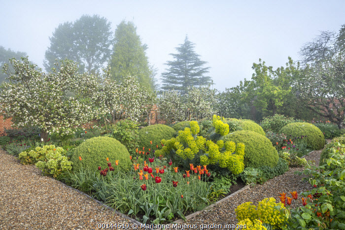 Hellebores, Tulipa 'Ballerina' and 'Abu Hassan', large mounds of Buxus sempervirens, euphorbia