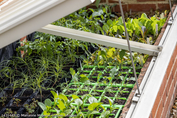 Seedlings of Kale 'Red Russian', Sprouting broccoli, lettuces and Oca in plastic module seedtrays, cold frame