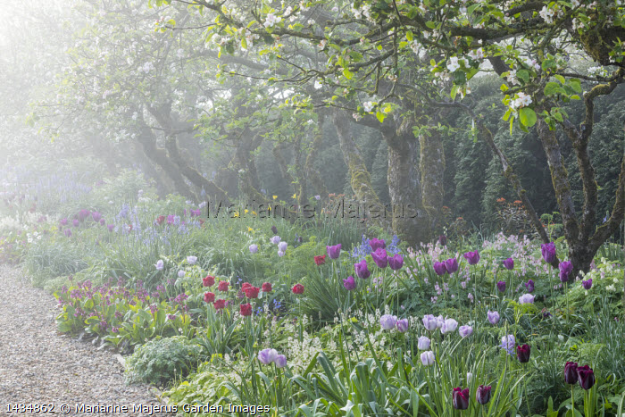 Apple trees underplanted with tulips, Camassia leichtlinii, Tiarella cordifolia, Dicentra formosa, bergenia and geraniums