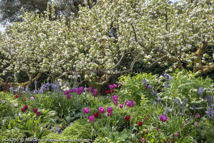 Apple trees underplanted with tulips, Camassia leichtlinii, Lamprocapnos spectabilis 'Alba'