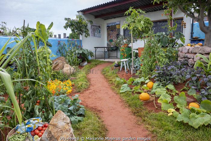 Path through tropical kitchen garden, Cucurbita pepo 'Jack o' Lantern', Saccharum officinarum