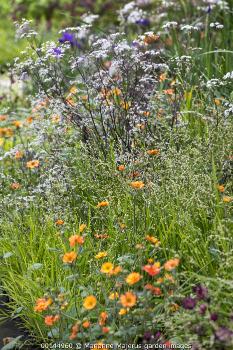 Melica altissima 'Alba', Geum 'Totally Tangerine', Anthriscus sylvestris 'Ravenswing'