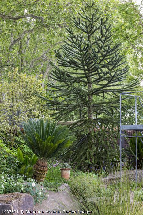 Araucaria araucana, Cycas revoluta
