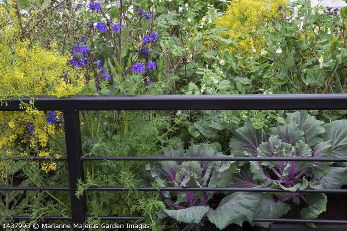 Pisum sativum 'Hurst Green Shaft', cabbages, Isatis tinctoria, Anchusa azurea