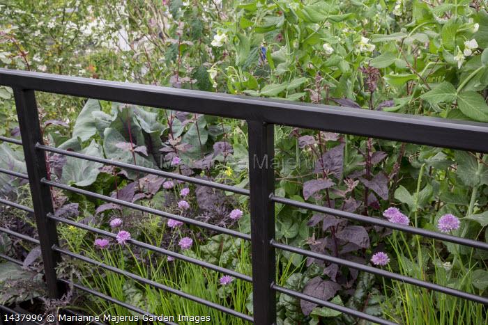 Atriplex hortensis var. purpurea, Allium schoenoprasum, Pisum sativum 'Hurst Green Shaft'