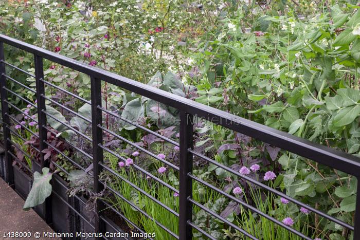 Allium schoenoprasm, Pisum sativum 'Hurst Green Shaft', Atriplex hortensis var. purpurea, black railings