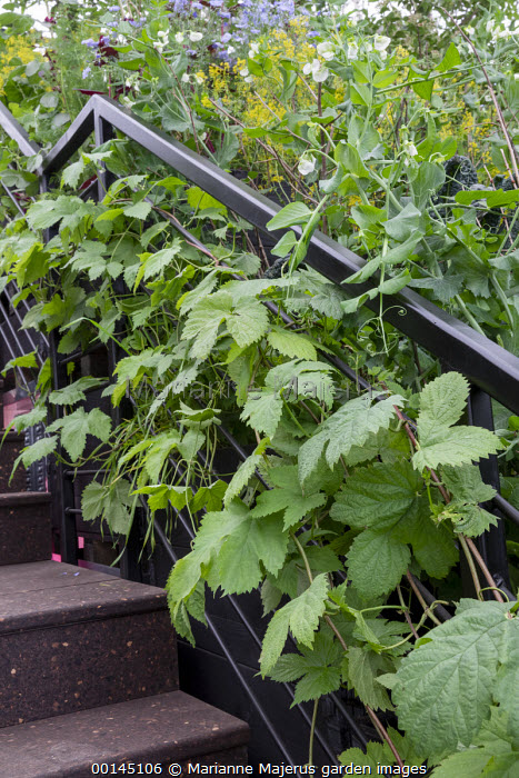 Humulus lupulus climbing through railings, Pisum 'Green Hurst Shaft'
