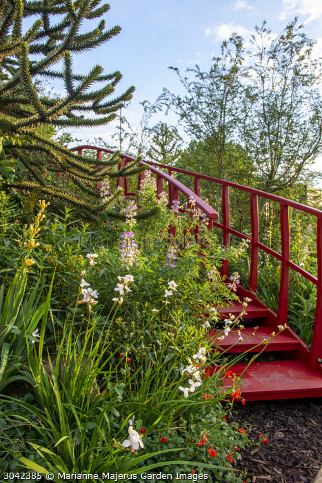 Red steps, Araucaria araucana, Libertia grandiflora, Lupinus arboreus