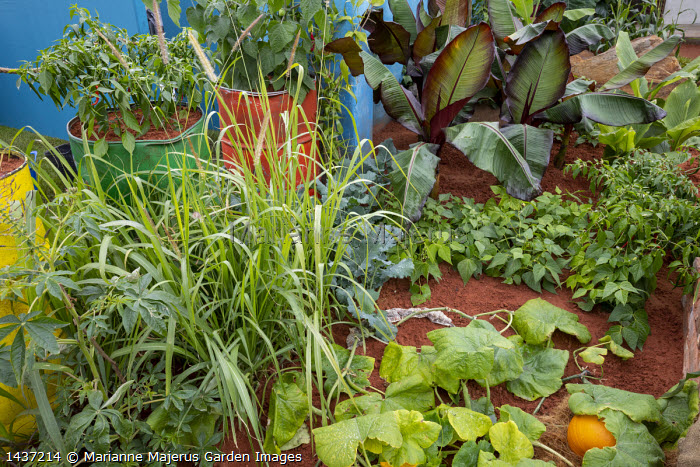 Tropical kitchen garden, Ensete ventricosum 'Maurelii', Cucurbita pepo 'Jack o' Lantern'
