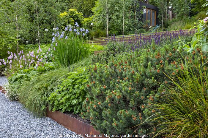 Geranium 'Rozanne', Persicaria bistorta 'Superba', Pinus mugo, Iris sibirica 'Perry's Blue', Cor-Ten steel raised bed, gravel path