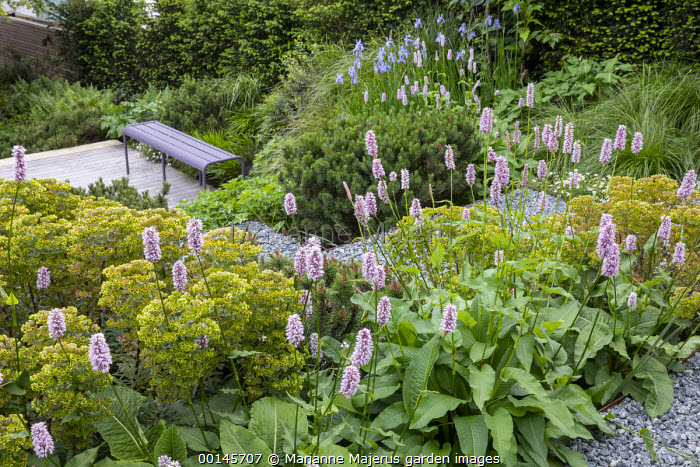 Euphorbia × martini, Persicaria bistorta 'Superba', Pinus mugo, Iris sibirica 'Perry's Blue', purple bench