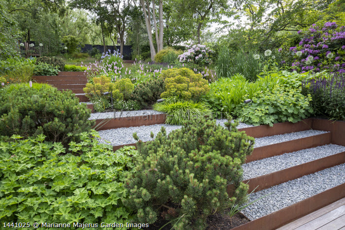 Salvia nemorosa 'Caradonna', rhododendron, Allium 'Mount Everest', Euphorbia × martini, Cor-Ten steel gravel steps, Alchemilla mollis, Pinus mugo, Geranium 'Rozanne'