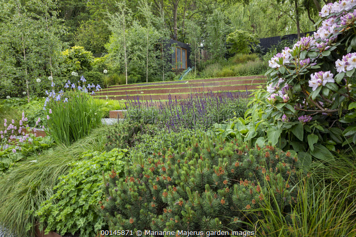 Geranium 'Rozanne', Persicaria bistorta 'Superba', Pinus mugo, Iris sibirica 'Perry's Blue', Cor-Ten steel raised bed, gravel path, rhododendron
