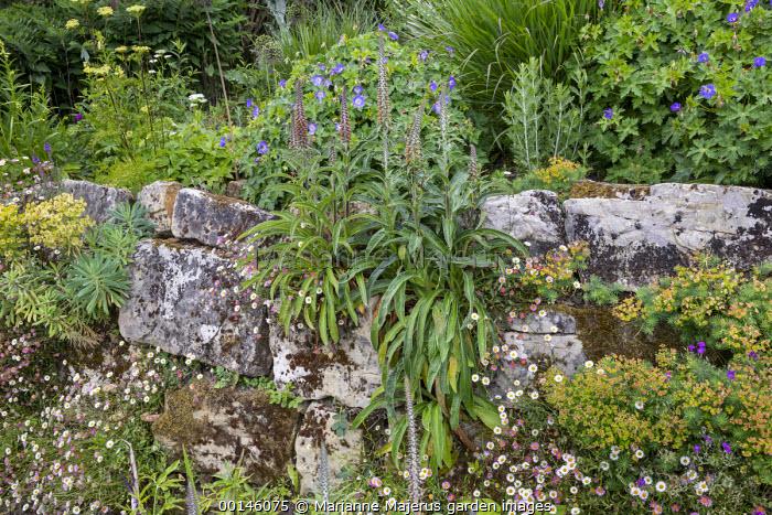 Digitalis ferruginea, euphorbia and Erigeron karvinskianus growing in cracks in stone wall, Geranium 'Rozanne'