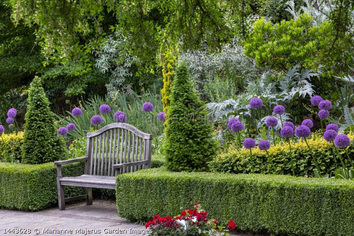 Low clipped Buxus sempervirens 'Latifolia Aurea Maculata' hedges, wooden bench, Allium 'Globemaster', clipped yew pyramids, Taxus baccata 'Fastigiata Aurea'
