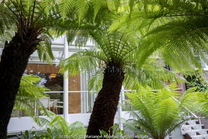 Dicksonia antarctica in urban garden, contemporary conservatory