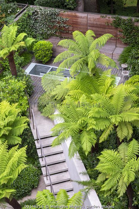 Dicksonia antarctica in urban garden, steps leading to upper terrace
