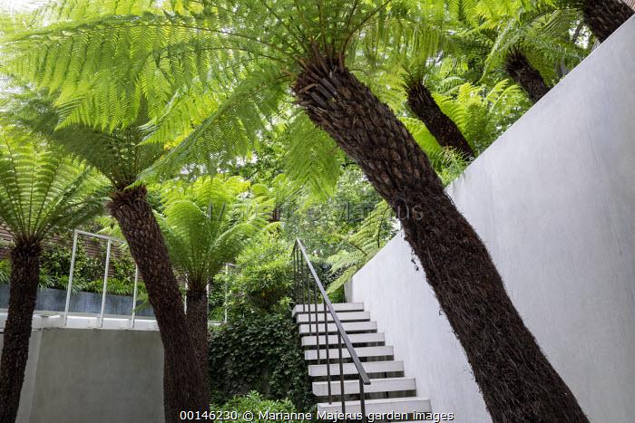 Dicksonia antarctica in urban garden