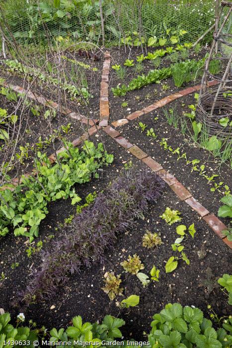 Salad leaves 'Purple Frills', Pisum sativum var. saccharatum 'Shiraz'