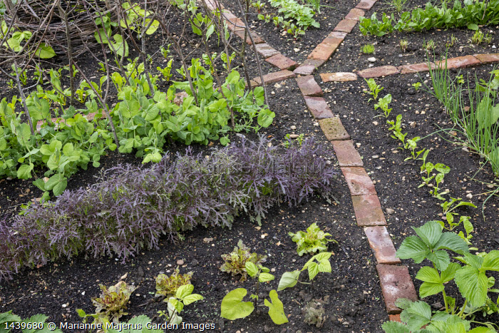 Salad leaves 'Purple Frills', Pisum sativum var. saccharatum 'Shiraz', brick paths