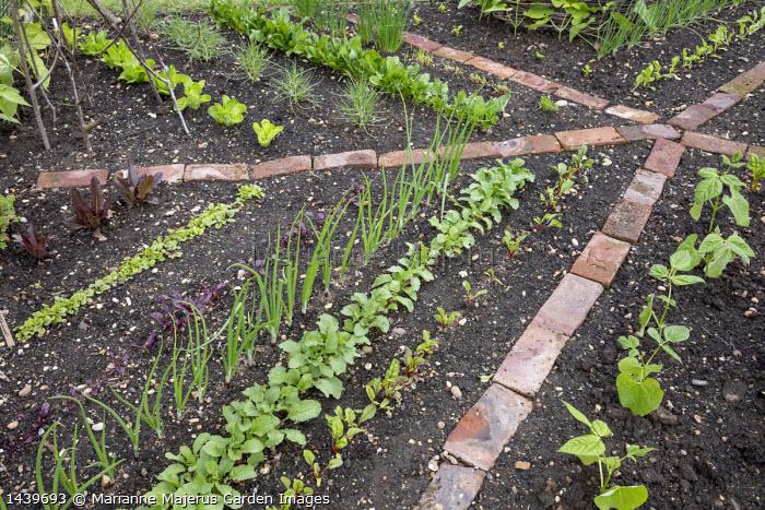 Rows of seedlings, Sorrel, brick paths