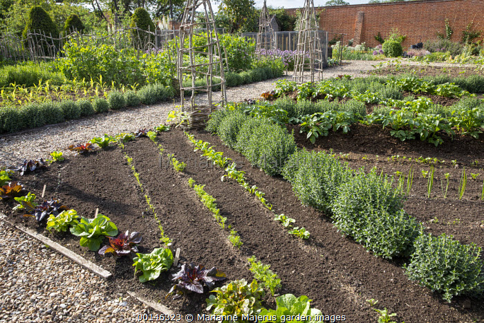 Kitchen garden, rows of Swiss chard seedlings, oregano, willow wigwams, potatoes, Lettuce 'Devil's Tongue' and 'Parris Island Cos' border edging, Teucrium x lucidrys