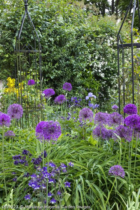 Aquilegia vulgaris, Allium hollandicum 'Purple Sensation', Asphodeline lutea, black obelisk, irises