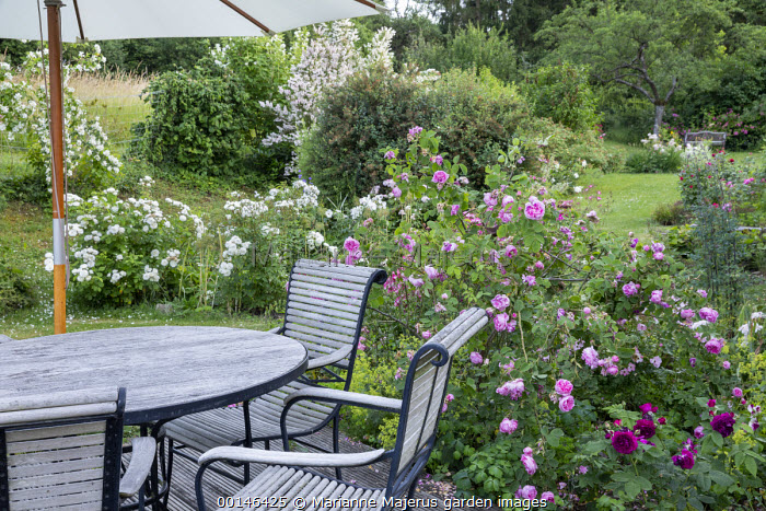 Roses around table and chairs under umbrella on decking, Rosa 'Taxandria', Rosa 'Mid Summer Snow', Rosa 'Chapeau Napoléon' and Rosa 'Purple Lodge'