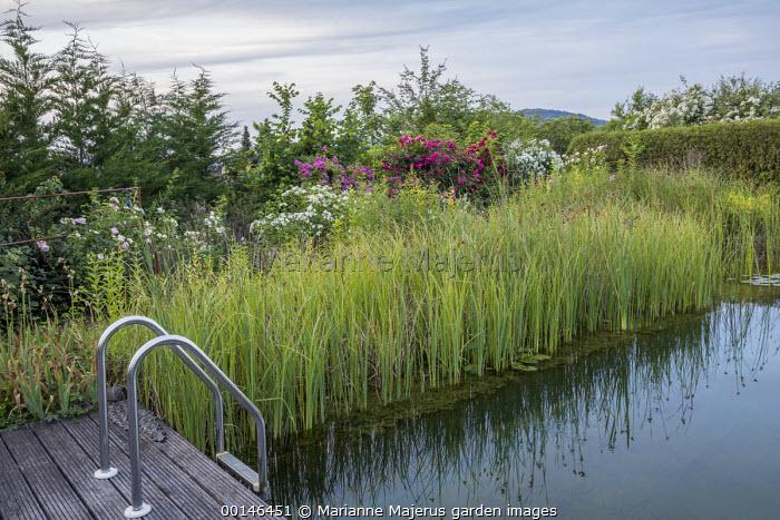 Steps into natural swimming pond, Rosa 'Yva', Rosa 'Michèle et Michel', Rosa 'Perennial Blue', Rosa 'Laguna' and Rosa 'Guirlande d'Amour'