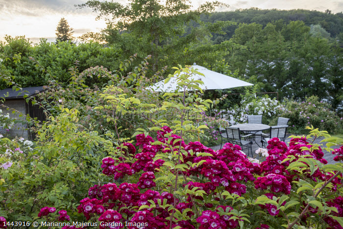 Table, chairs and umbrella on decking, Rosa 'Wilderode'