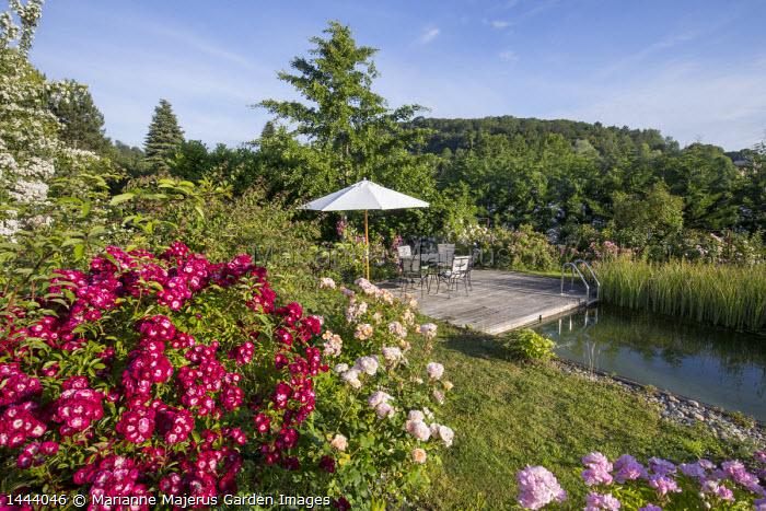 Table, chairs and umbrella on decking by natural swimming pond, Rosa 'Wilderode', Rosa 'Princesse Charlène de Monaco' and Rosa 'Absolument Claude'
