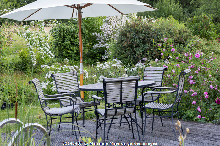 Roses around table and chairs under umbrella on decking, Rosa 'Taxandria', Rosa 'Midsummer Snow', Rosa 'Chapeau Napoléon'