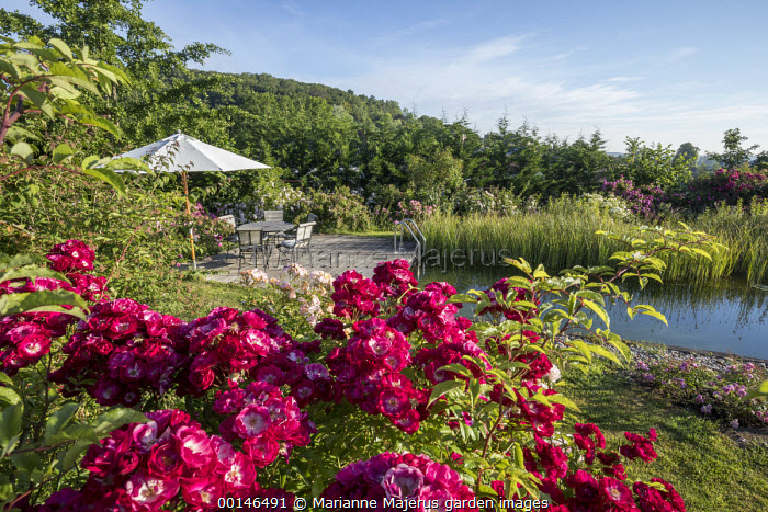 Table, chairs and umbrella on decking by natural swimming pond, Rosa 'Wilderode', Rosa 'Absolument Claude'