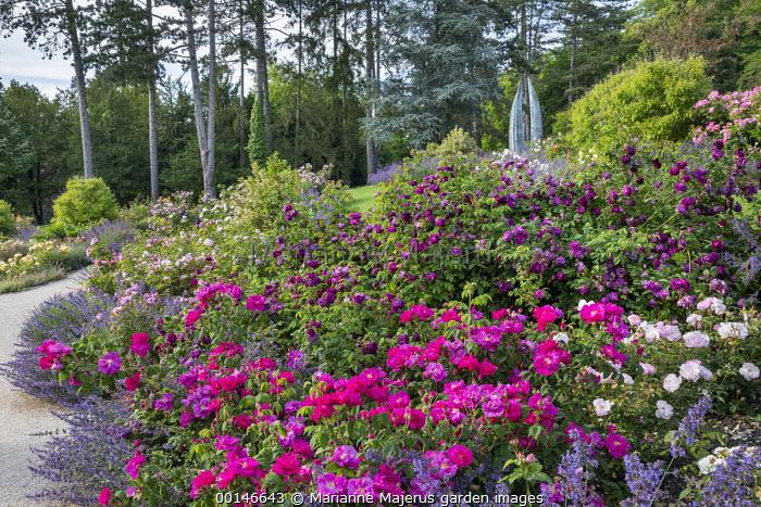 Rosa gallica var. officinalis, Rosa 'Celestial', Rosa 'Cardinal de Richelieu', Nepeta gigantea 'Six Hills Giant' border edging