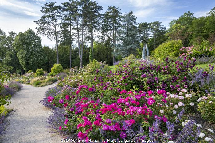 Rosa gallica var. officinalis, Rosa 'Celestial', Rosa 'Cardinal de Richelieu', gravel path, Nepeta gigantea 'Six Hills Giant'