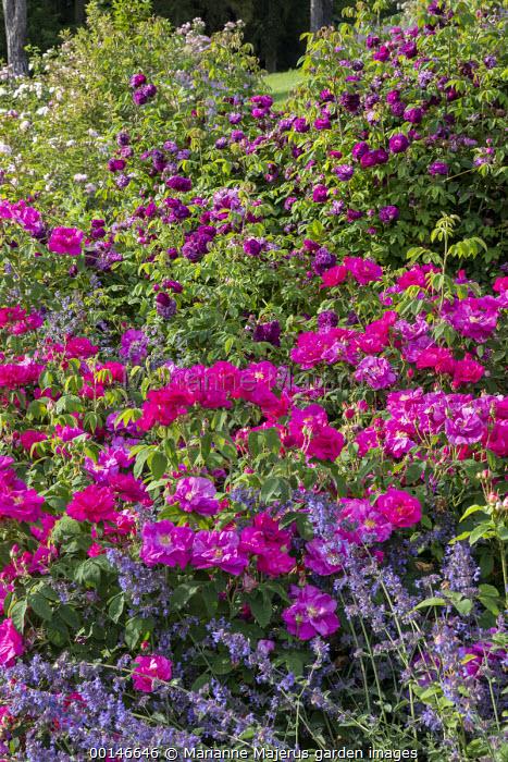 Rosa gallica var. officinalis, Rosa 'Cardinal de Richelieu', nepeta