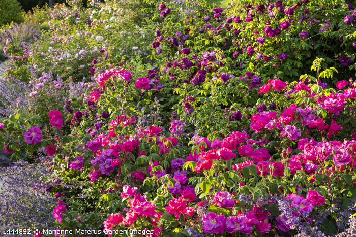 Rosa gallica var. officinalis, Rosa 'Cardinal de Richelieu', Nepeta gigantea 'Six Hills Giant'