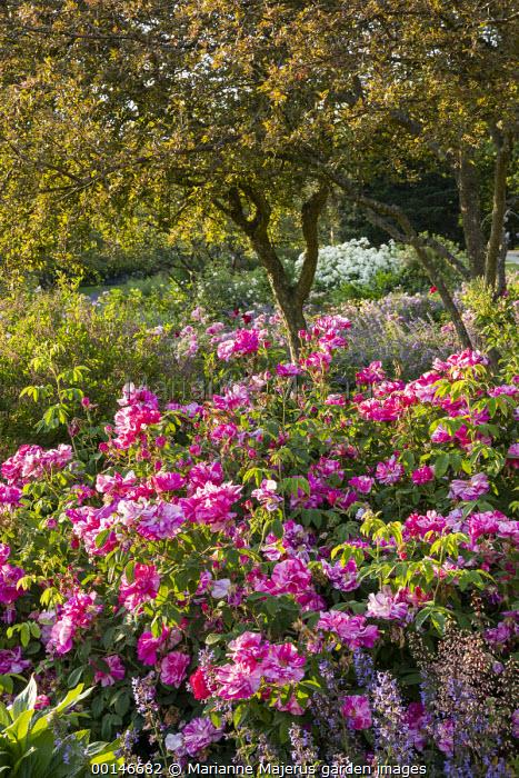 Rosa gallica 'Versicolor' syn. Rosa mundi