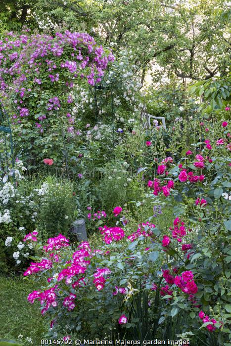 Rose garden, Rosa 'Bukavu', Rosa 'Catherine Elmshorn', Rosa 'Guirlande d'Amour', Rosa 'Hugo Maweroff' (Soupert & Notting 1910), Rosa 'Ghislaine de Féligonde'
