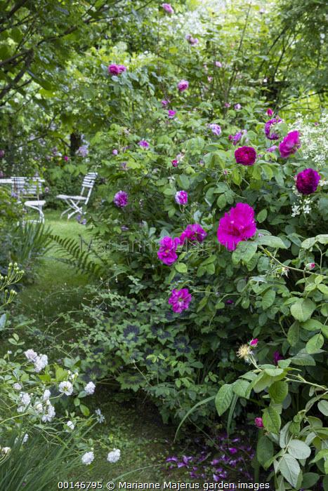 Rosa gallica var. officinalis, Rosa 'Charles de Mills', Clematis recta, geraniums, table and chairs on lawn, Rosa 'Clotilde Soupert' (Soupert & Notting 1889)