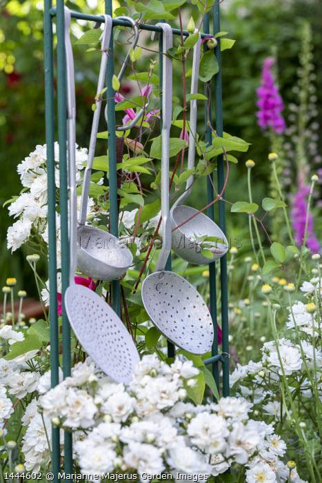 Kitchen utensils on metal frame, Rosa 'Guirlande d'Amour' (Lens), foxgloves