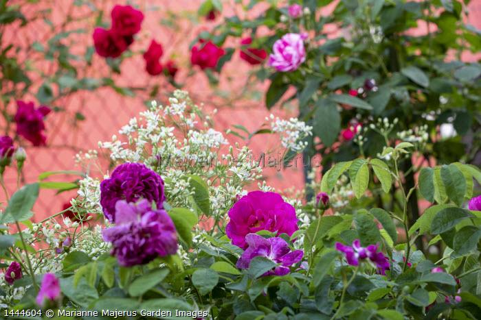 Rosa 'Charles de Mills', Rosa gallica 'Versicolor', Clematis recta, Rosa 'Paul's Scarlet Climber'