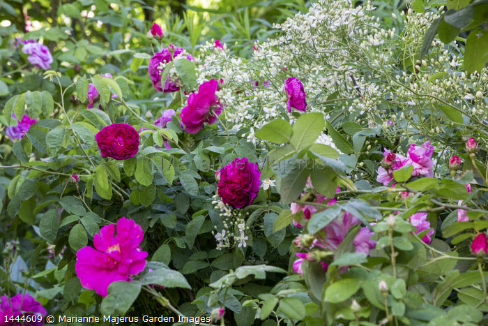 Rosa 'Charles de Mills', Rosa gallica var. officinalis, Rosa gallica 'Versicolor' syn. Rosa mundi and Clematis recta