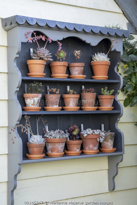 Display of echeveria and succulents in terracotta pots on shelves