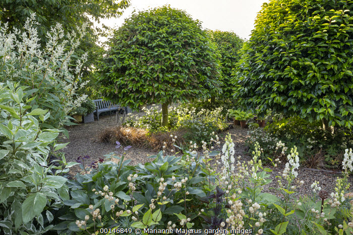 Clipped Prunus lusitanica, Persicaria polymorpha, bench, astrantia, aconitum