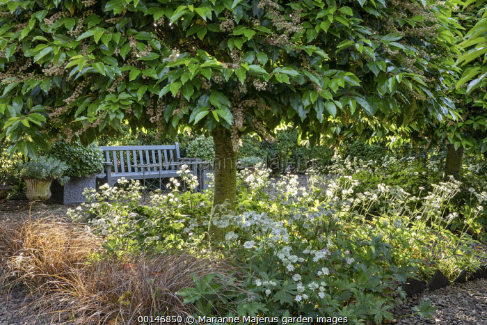 Clipped Prunus lusitanica, underplanted with Astrantia major, wooden bench