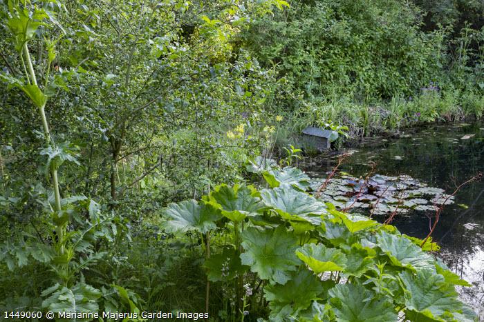 Darmera peltata by pond