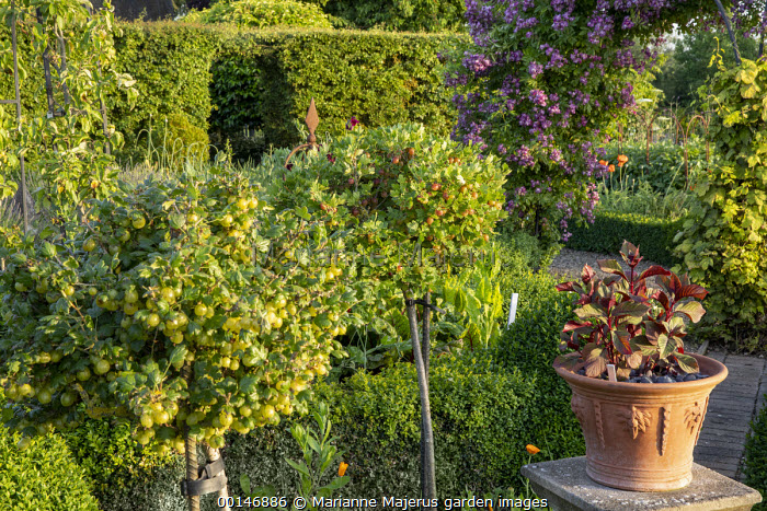 Standard gooseberry lollipops, Ribes uva-crispa 'Invicta' and 'Whinham's Industry', Rosa 'Veilchenblau' climbing over arch