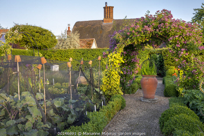 Brassicas under netting plant protection in kitchen garden, Rosa 'Veilchenblau' climbing over arbour, large terracotta pot, Humulus lupulus 'Aureus'