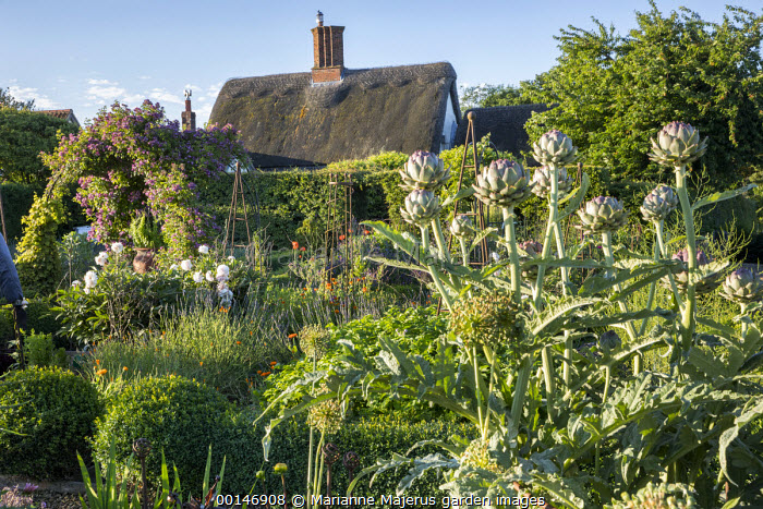 Artichokes in kitchen garden, clipped box balls, Rosa 'Veilchenblau' climbing over arch, view to thatched cottage